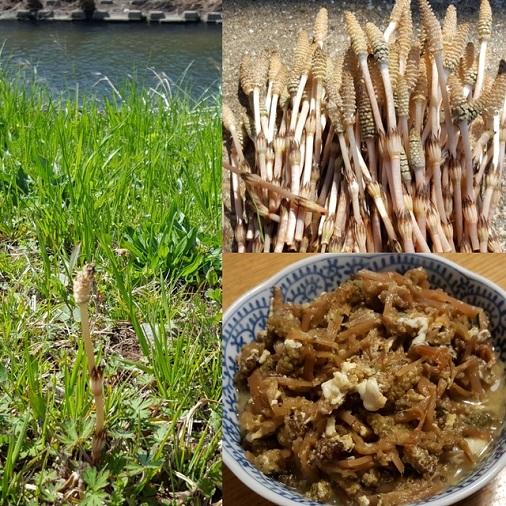 鶴見川のツクシ